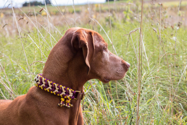 Vizsla Spirit´s Autumn